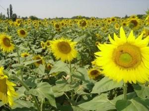 Sunflowers-burgundy